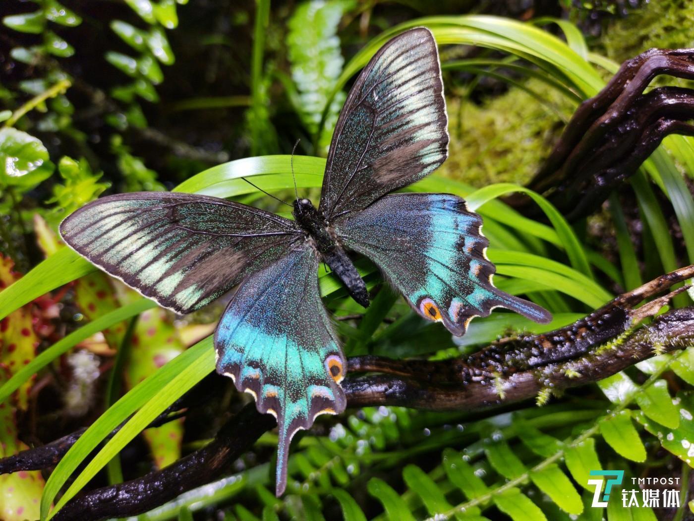 荣耀V20拍摄的蝴蝶样张