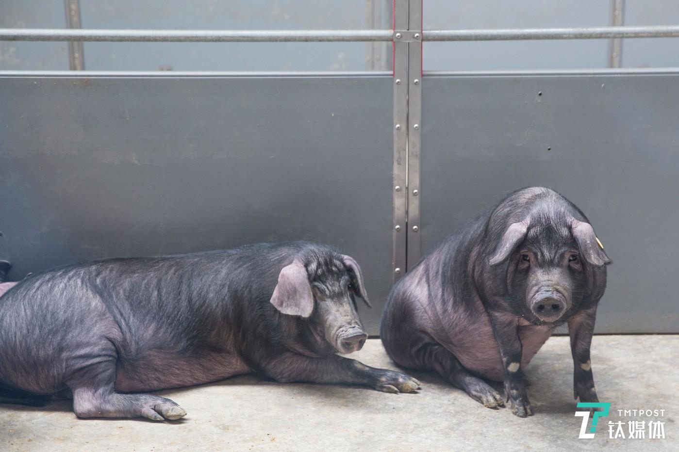 丁家猪。浙江安吉网易猪场,丁家猪的岁月静好。