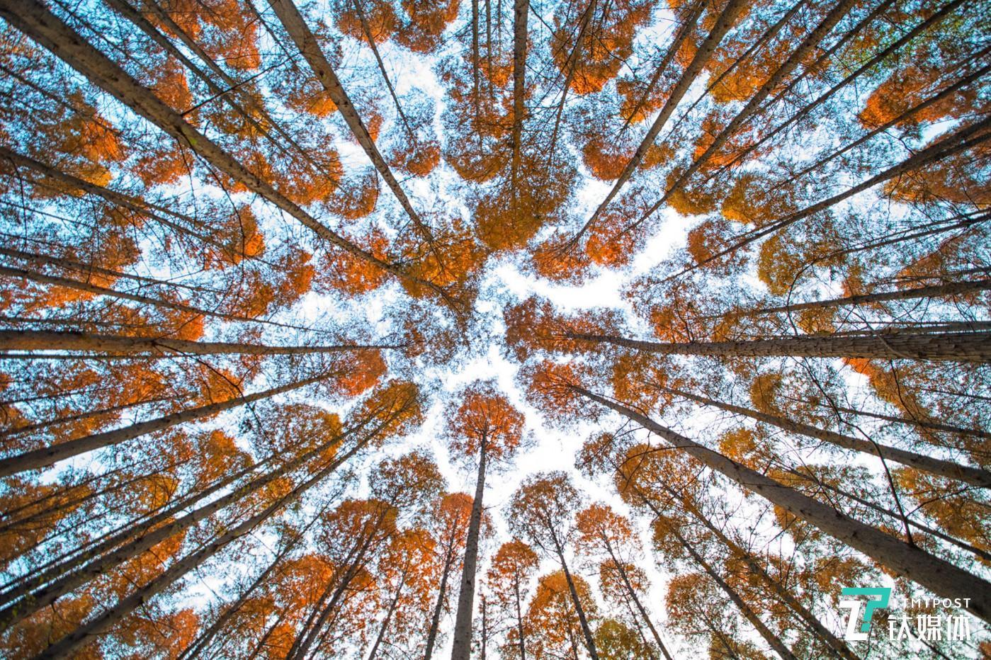 森林迷宫。初冬的南京理工大学,水杉的枝叶向天空蔓延,留白的路径犹如迷宫。