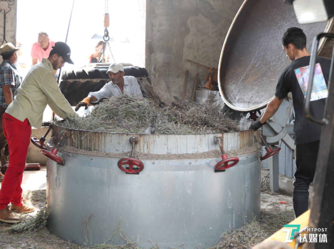工人将薰衣草填入缸内,准备进行蒸馏萃取
