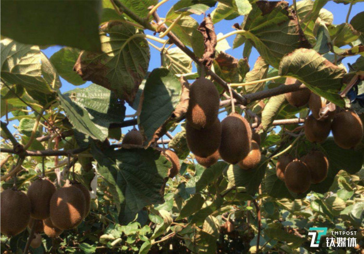 周至县猕猴桃