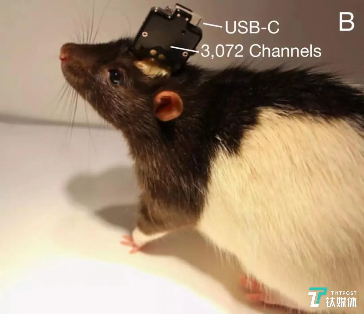 用于实验的老鼠