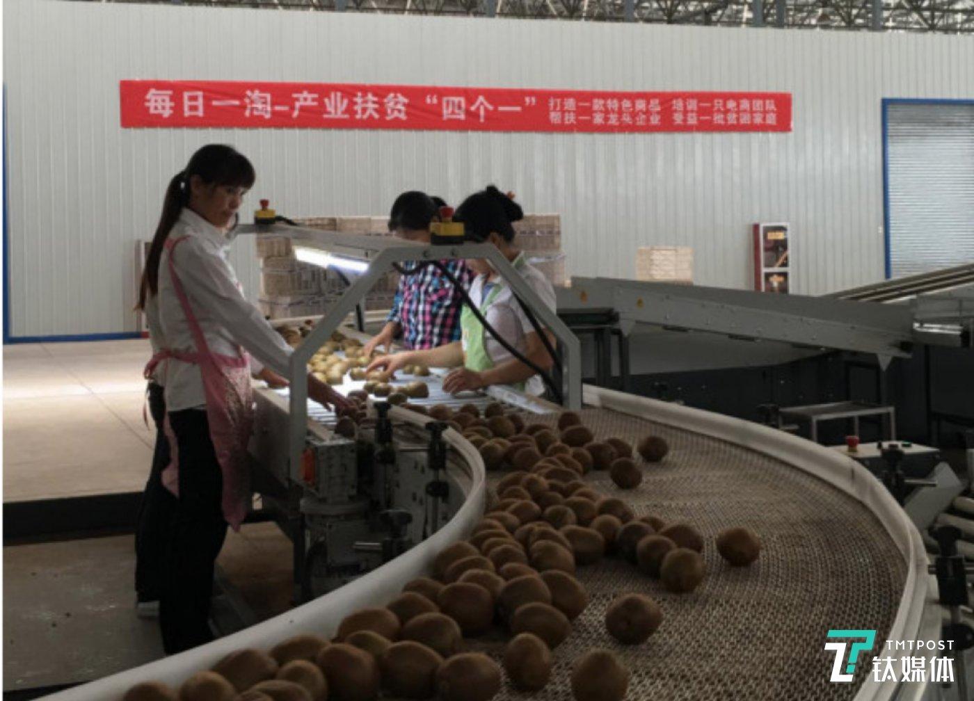 农户手工挑选优质猕猴桃