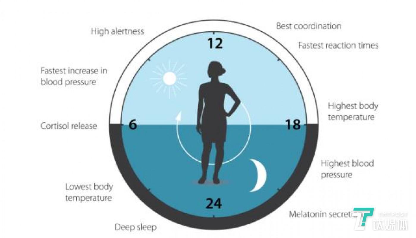 人体在一天中的不同生理活动也受生物钟调控