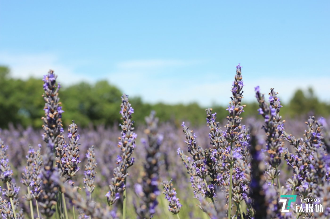 阿普特地区种植的真实薰衣草