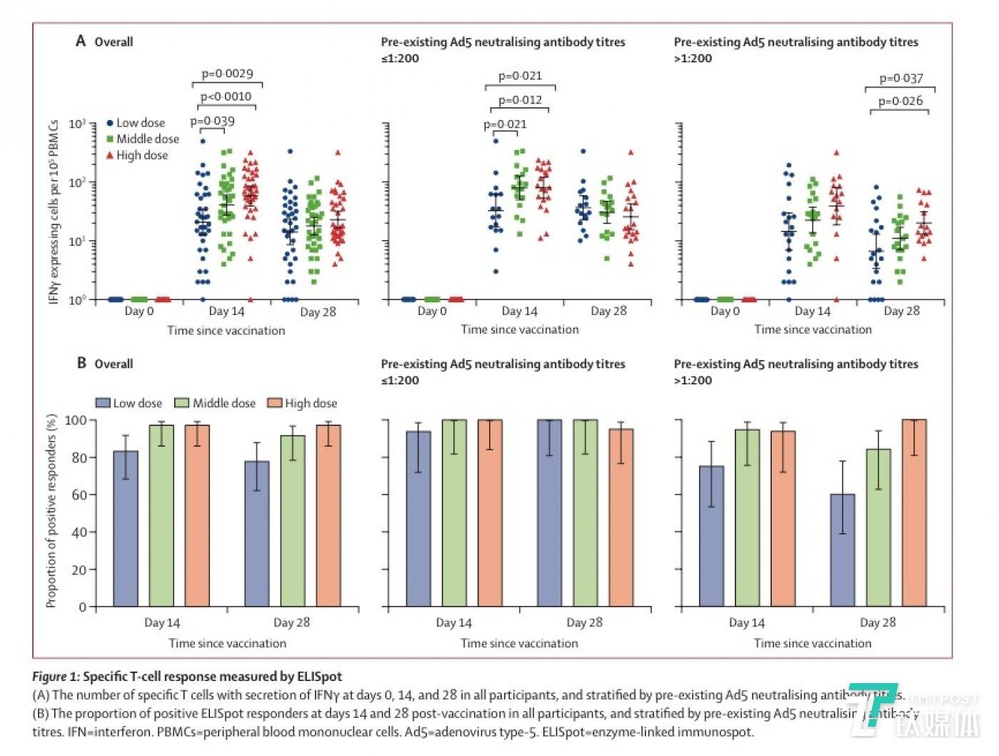 酶联免疫斑点检测 (ELISpot) 中的特异性 T 细胞。(A):所有参与者在第 0、14 和 28 天分泌干扰素γ(IFNγ)的特异性 T 细胞数量,并通过预置的 Ad5 型腺病毒中和抗体滴度进行分层。(B):接种后第 14 天和第 28 天,所有参与者中酶联免疫斑点检测呈阳性的比例,并通过预置的 Ad5 型腺病毒中和抗体滴度进行分层。